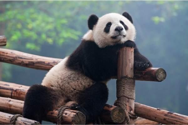 実はパンダはチベットに住んでいる!でもレンタル料は中国へ